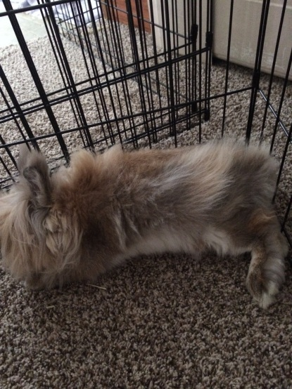 Peanut, flopped out by the gate that serves to bunny-proof the bedrooms