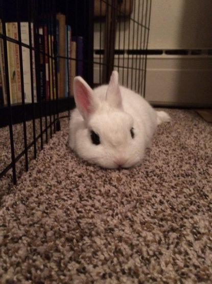 Tater Tot in full relax-mode by the pen used to bunny-proof the book shelf